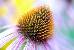 echinacee plante phytothérapie consultation