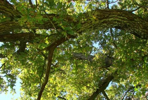 lumière dans les feuilles du chêne